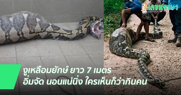 งูเหลือมยาว 7 เมตร